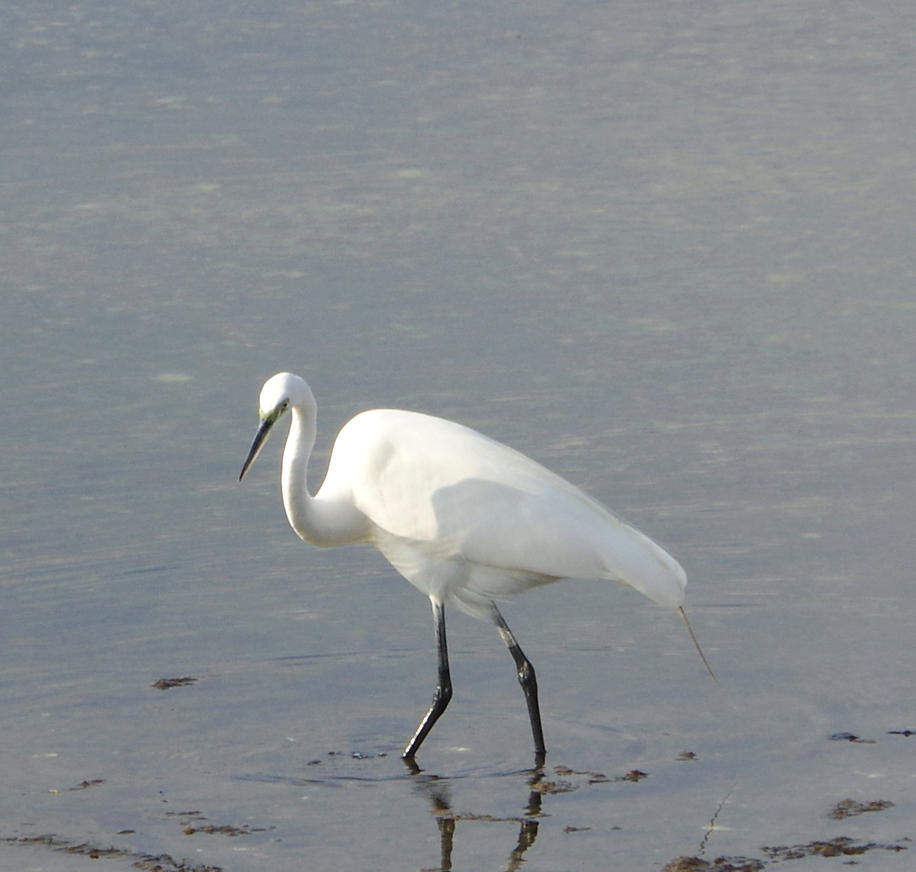 Egret at Cove Island Park 1 by billy