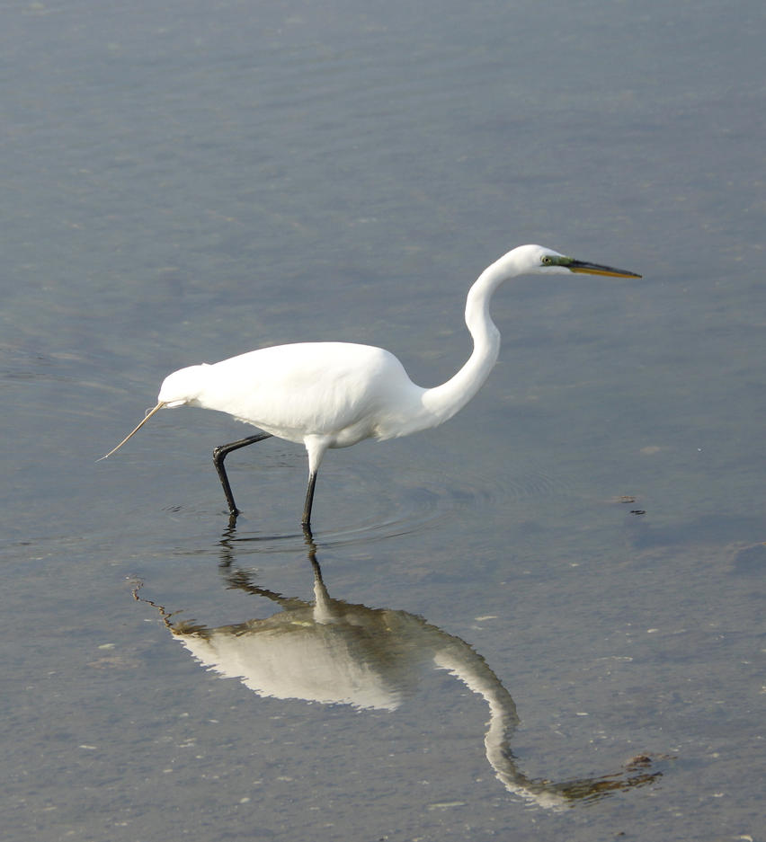 Egret at Cove Island Park 2 by billy
