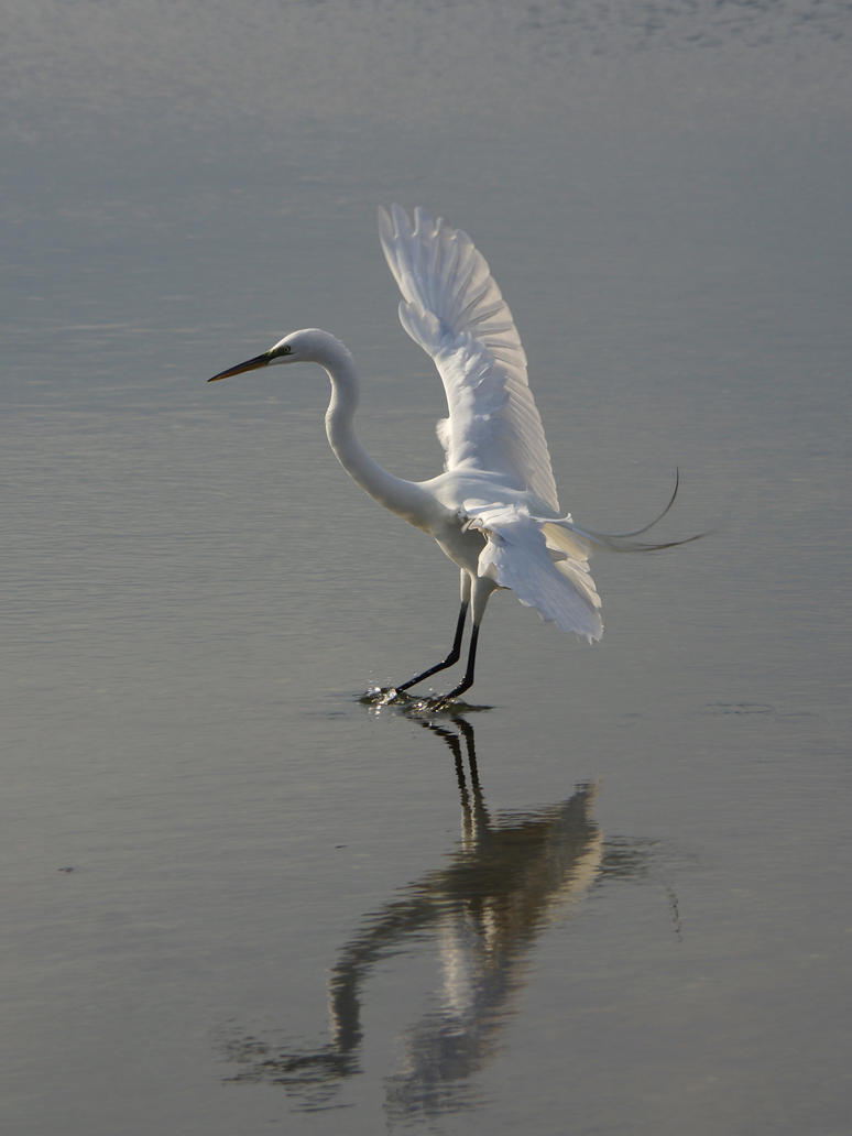 Egret at Cove Island Park 3 by billy