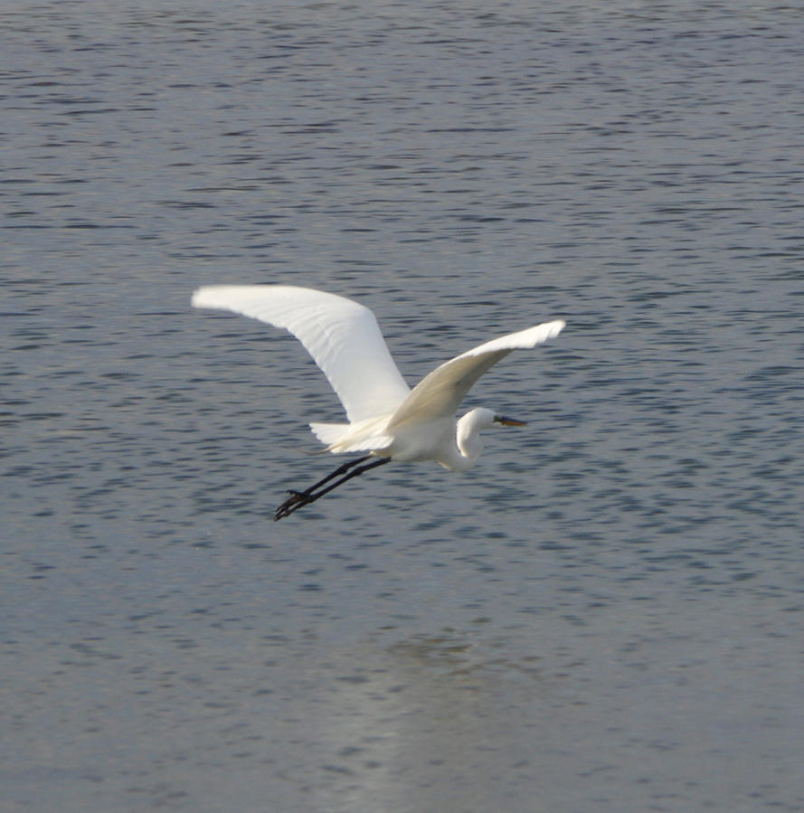 Egret at Cove Island Park 4 by billy