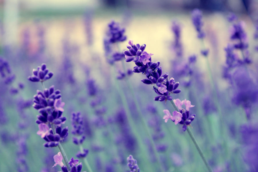Lavender by 86Botond
