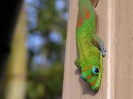 Gecko in Repose by elephantblue