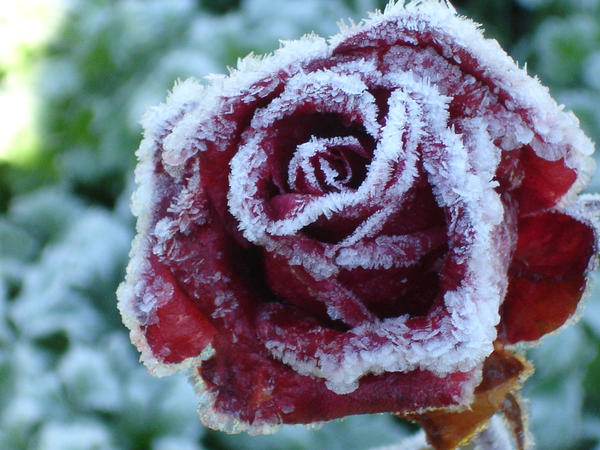frosted rose. by darkshadow-nightmare