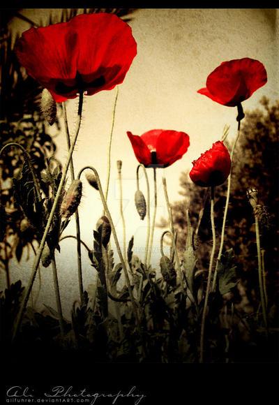 red Anemones by alifuhrer