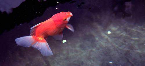 Red Oranda Goldfish by PhucTran