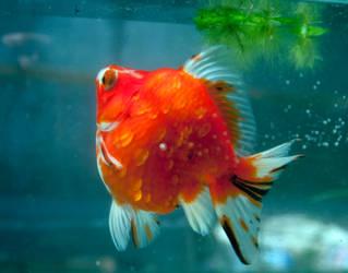 Calico Ryukin Goldfish by PhucTran