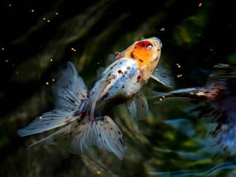 Calico Oranda Goldfish by PhucTran