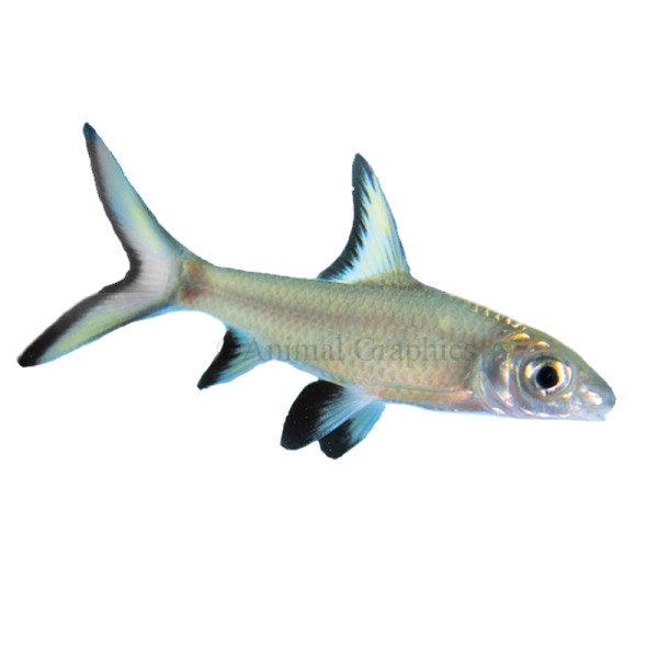 .:Bala Shark Facts:. by TLQofTheOutlanders on DeviantArt