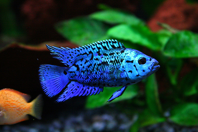 Electric Blue Jack Dempsey Facts:  by TLQofTheOutlanders on