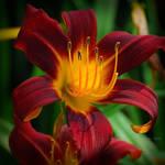 Hot Lily by SharonLeggDigitalArt