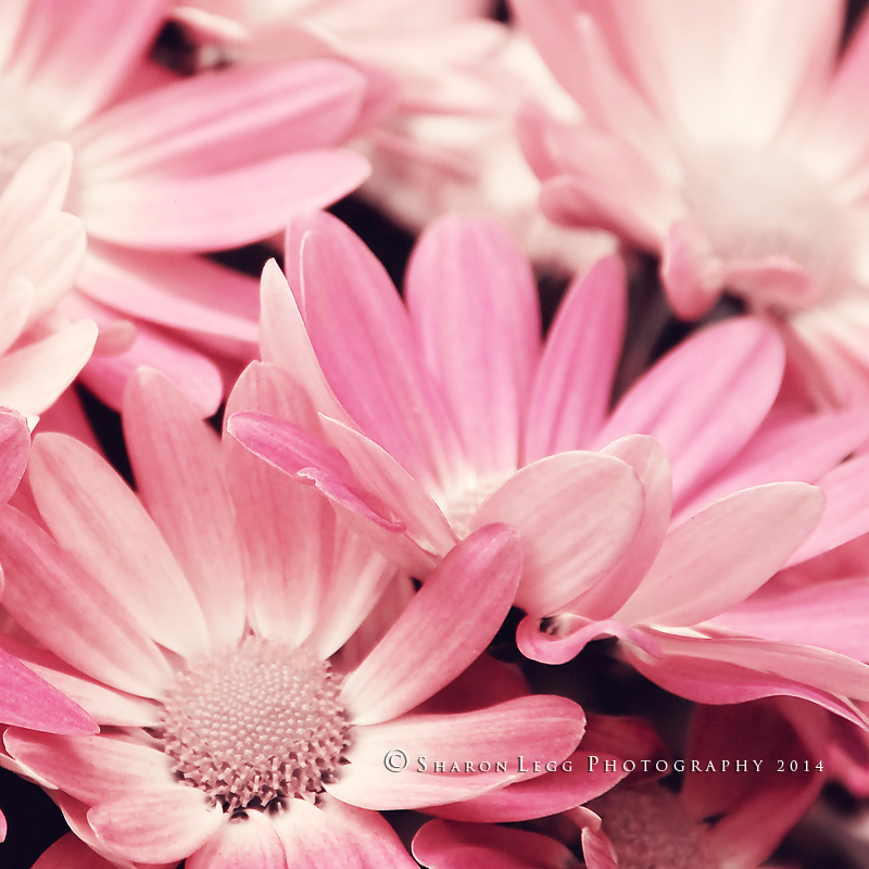 Lovely Pinks by SharonLeggDigitalArt