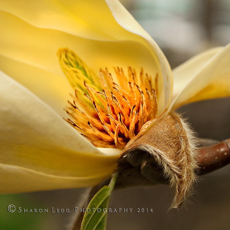 yellow magnolia wallpaper - photo #17