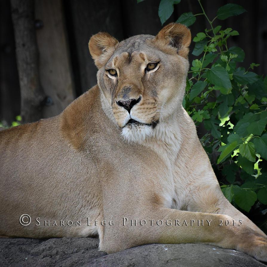 Lioness In Repose by SharonLeggDigitalArt