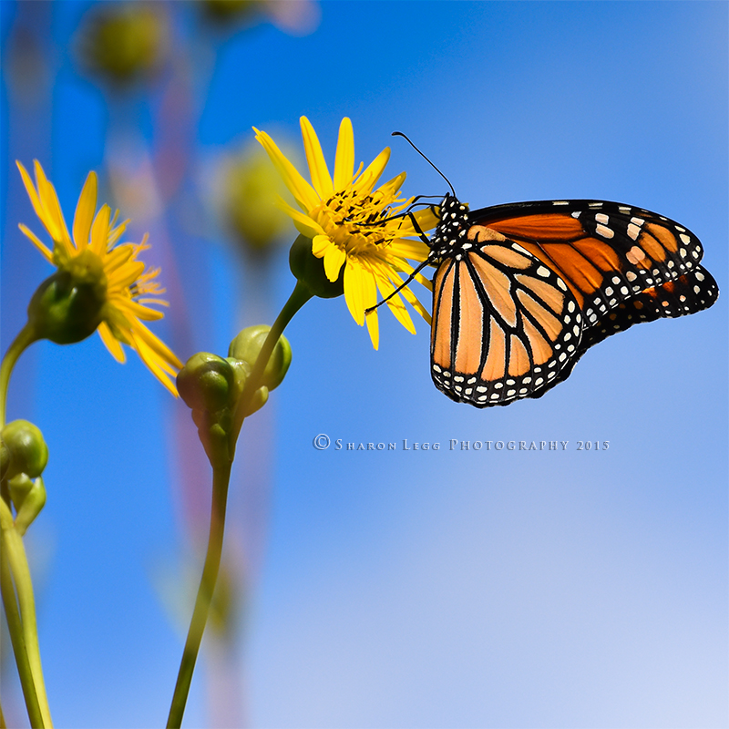 Summer Monarch by SharonLeggDigitalArt
