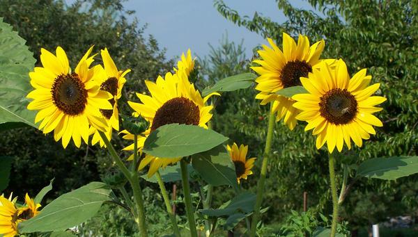 Sunflowers 1 by MistressVampy