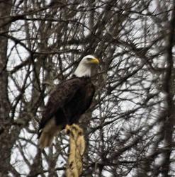 Eagle by MistressVampy