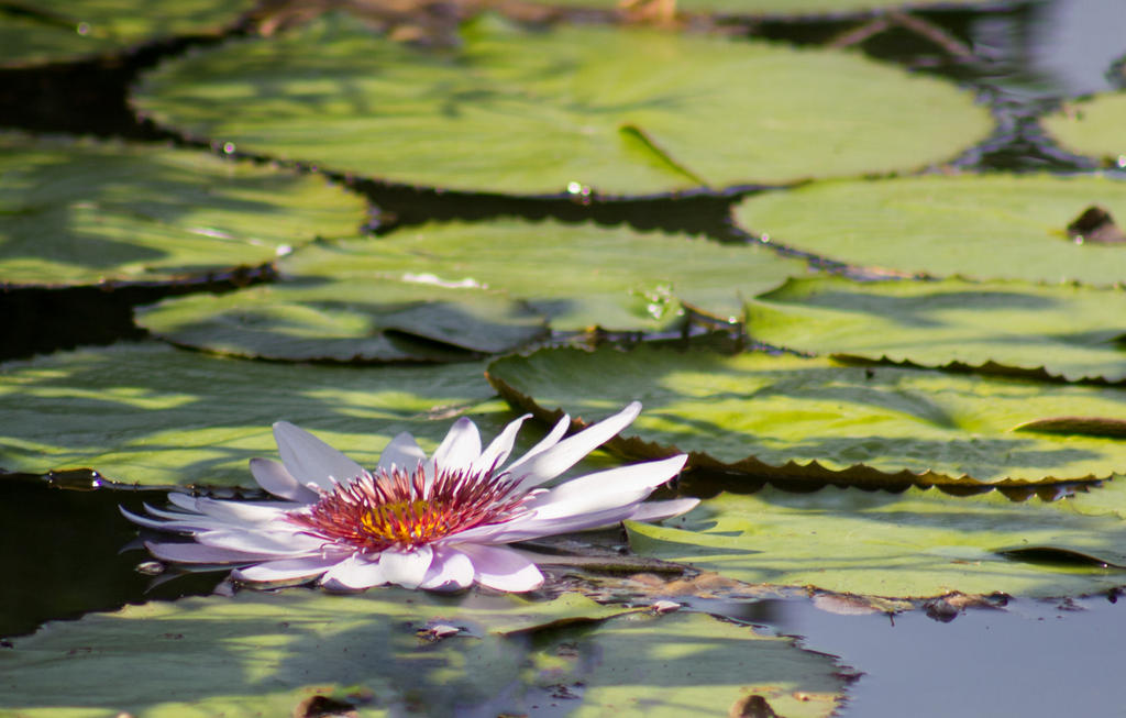 Water Lily by MistressVampy