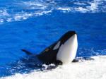 Orca Hello by TheGraceofCassandra