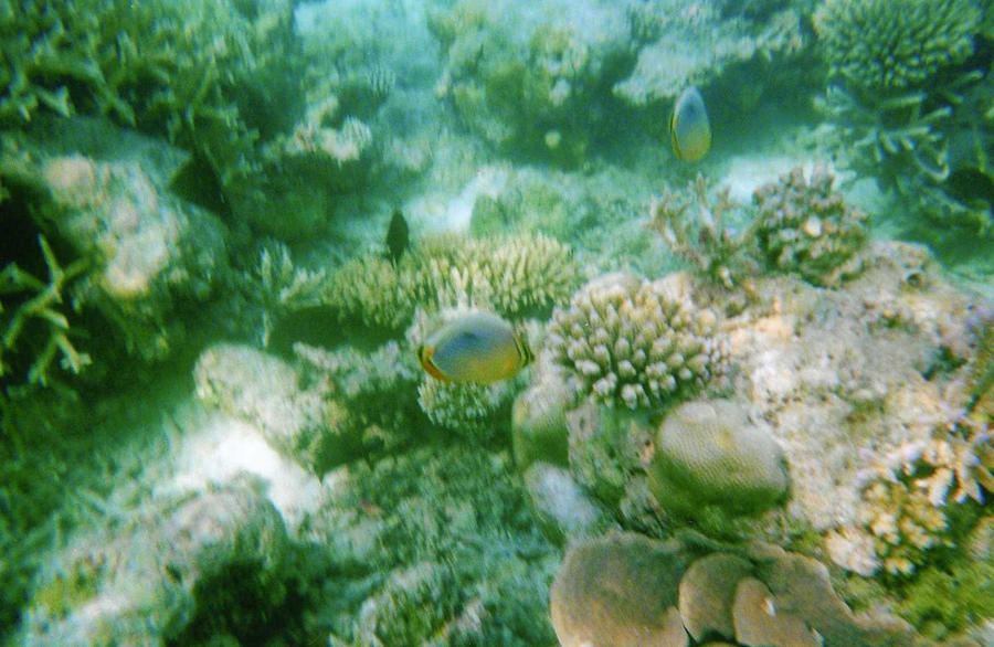 Butterfly Fish - Photo 3 Maldives by Kooskia