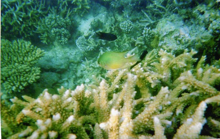 Damselfish - Photo 6 Maldives by Kooskia