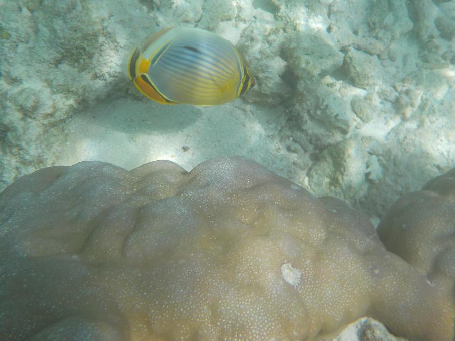 Pinstriped Butterflyfish by Kooskia