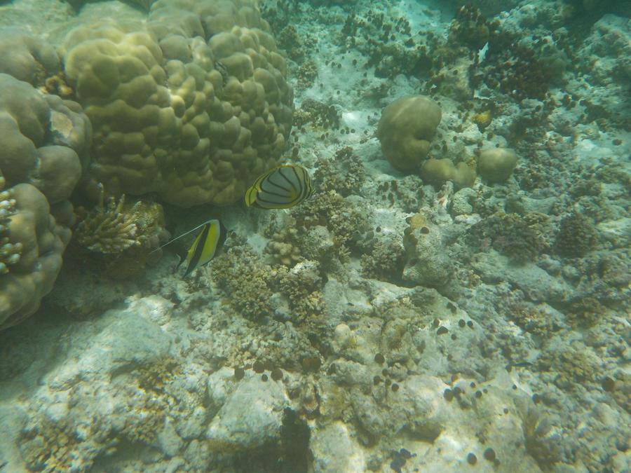 Meyer's Butterflyfish and Moorish Idol by Kooskia