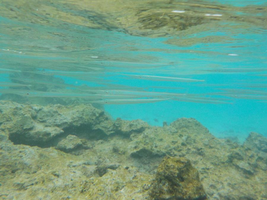 School of Needlefishes by Kooskia