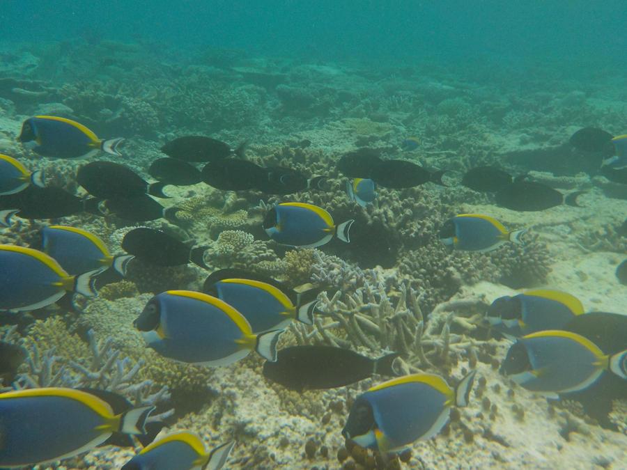 School of Poweder-blue Surgeonfishes by Kooskia