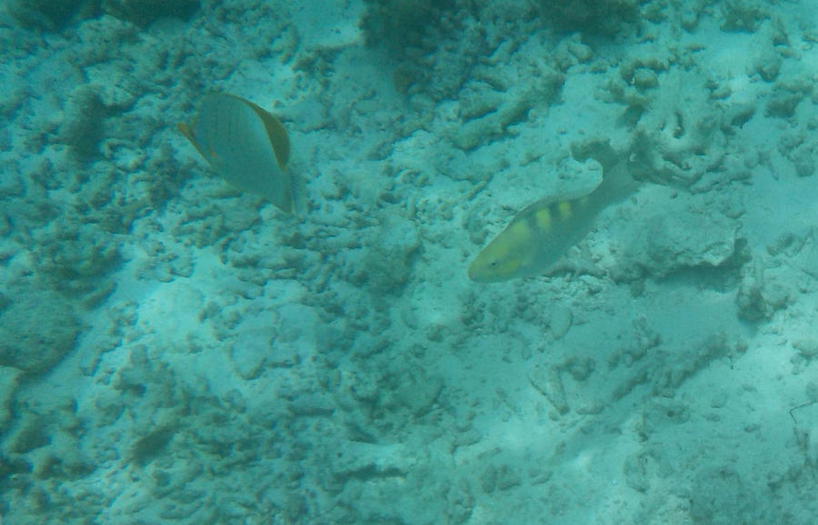 Yellow-head Butterflyfish and Parrotfish by Kooskia