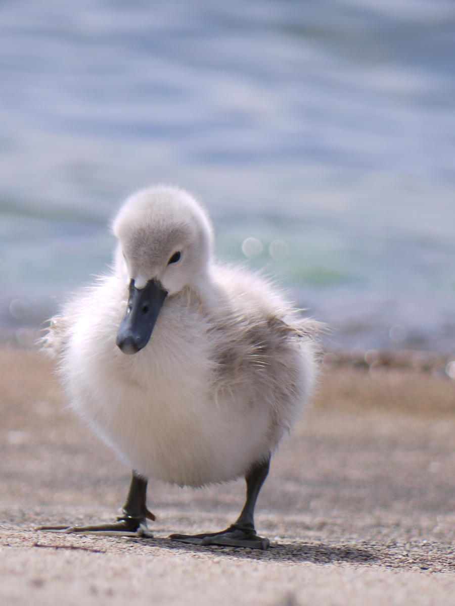 Baby Swan by Grandmagoingnuts on DeviantArt