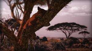 Leopard Out on a limb 2