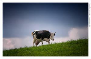 Cow by mjagiellicz