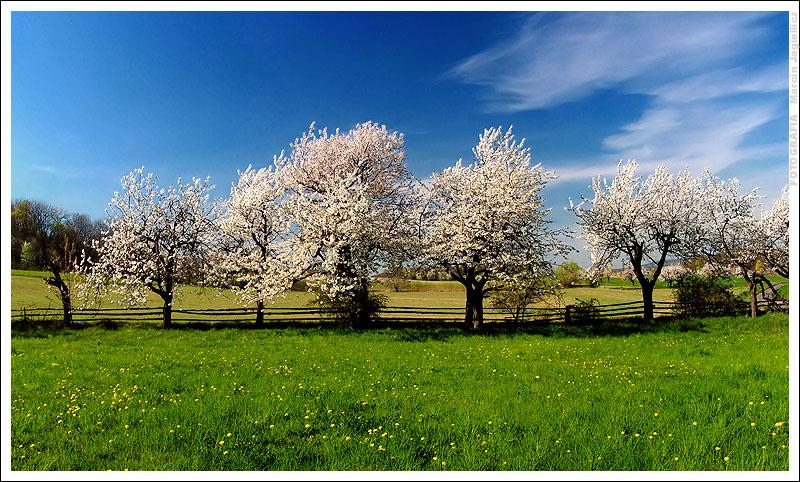 White trees by mjagiellicz