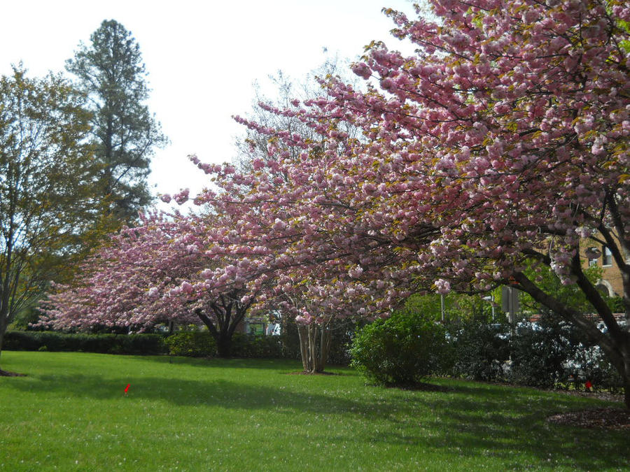 Cherry Trees On A Lawn By Urceola On Deviantart
