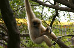 A Woolly Spider Monkey