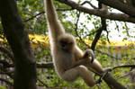A Woolly Spider Monkey