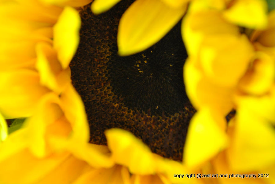 sunflower by cubisticnebular
