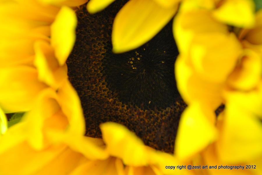 sunflower by cubisticnebular