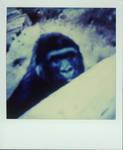 gorilla-art 003 by scp-art