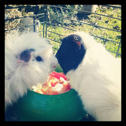 My guinea pigs by ClarissaSweet