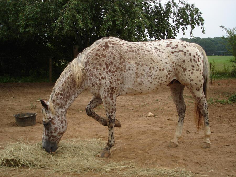 Buy Paint Horse