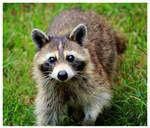 Rocky Raccoon by TheMan268