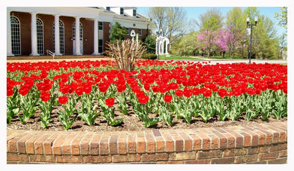 Beautiful Red Tulips by TheMan268