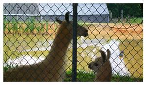 Llama llama by TheMan268
