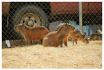 Capybara's by TheMan268