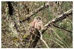 A Hoot Owl