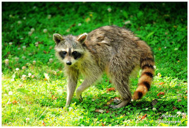 A Young Raccoon by TheMan268