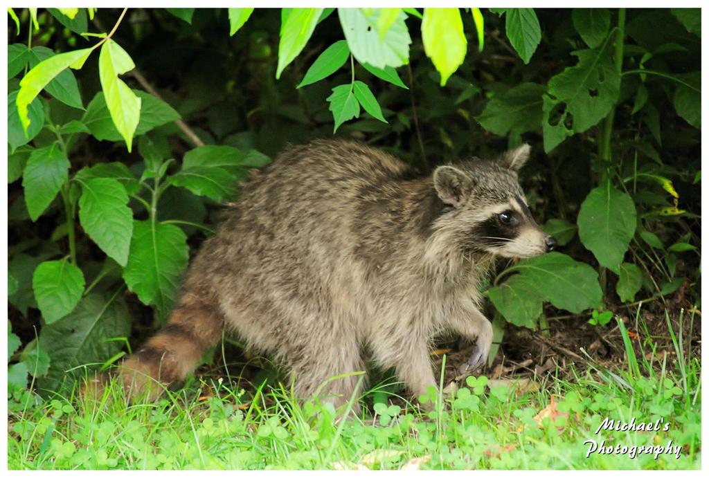 raccoon in my backyard by theman268 on deviantart