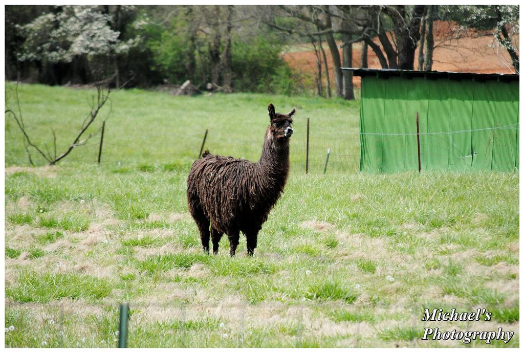 A Black Llama by TheMan268
