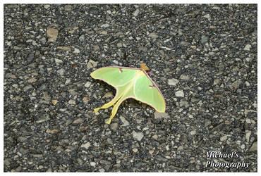 A Luna Moth by TheMan268